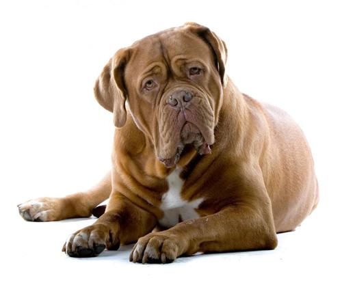 טיפול בכלבה בהריון